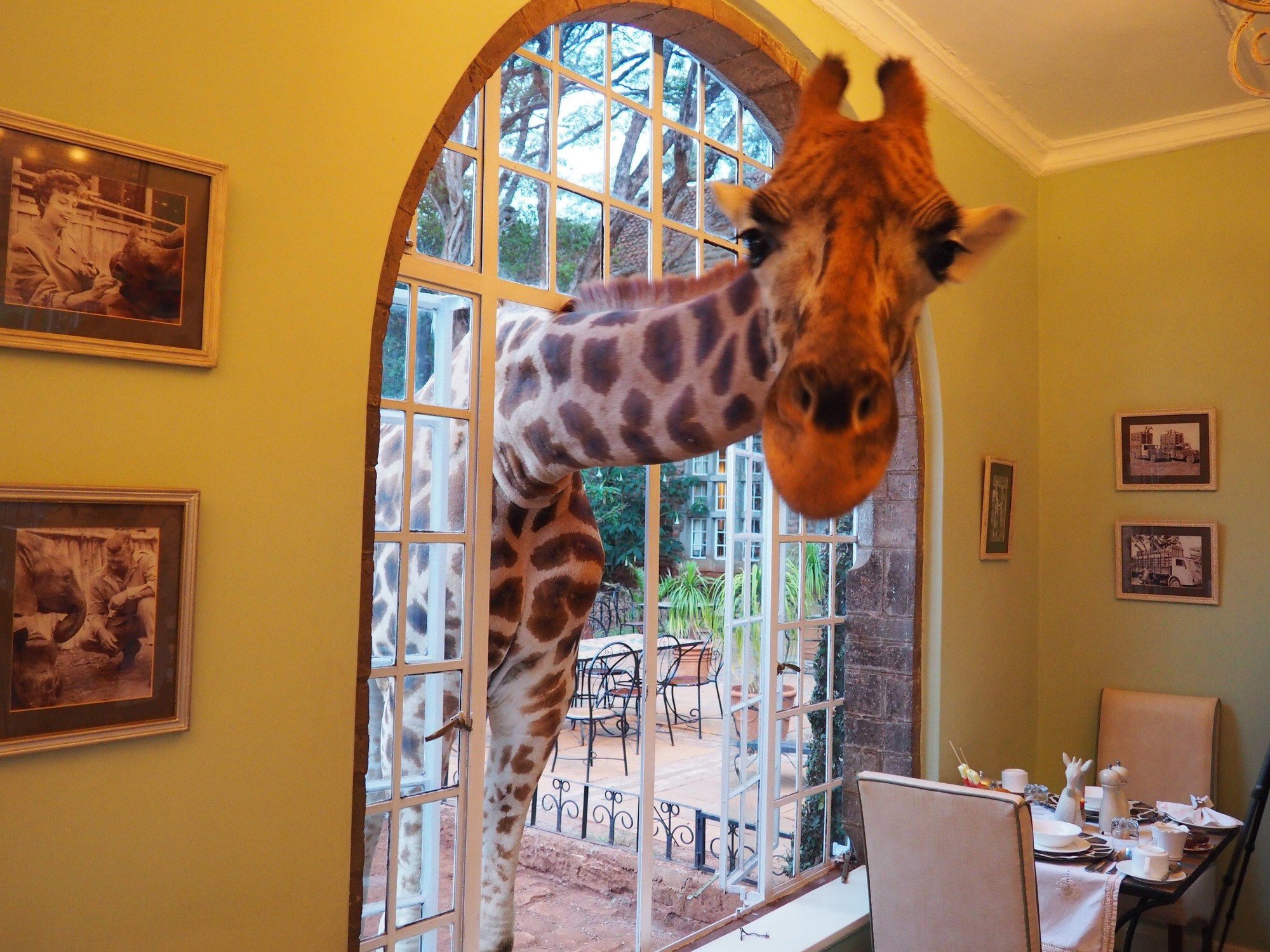 A curious giraffe pokes its head through the window of a restaurant.